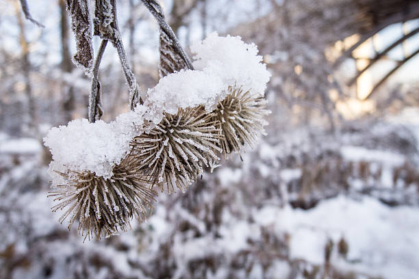 Frozen Thistle Seeds stock photo
