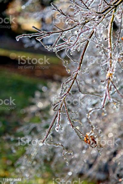Photo of Frozen tree branches encrusted after ice storm