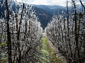Picture of a snowy apple  fruit trees in orchard