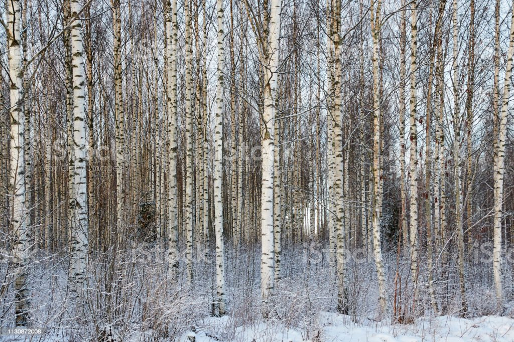 Frozen trees in the finnish forest in the winter. stock photo