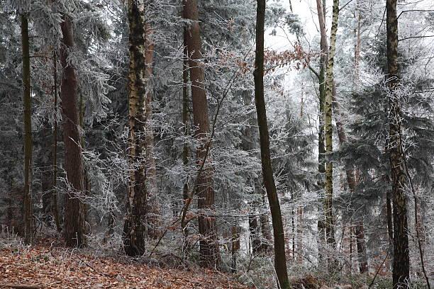 Frozen Trees stock photo