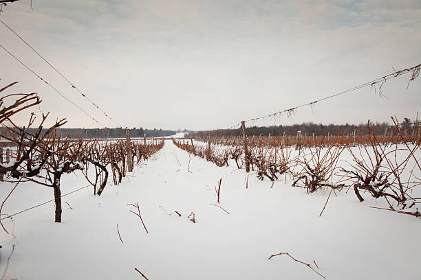 Frozen vineyard stock photo