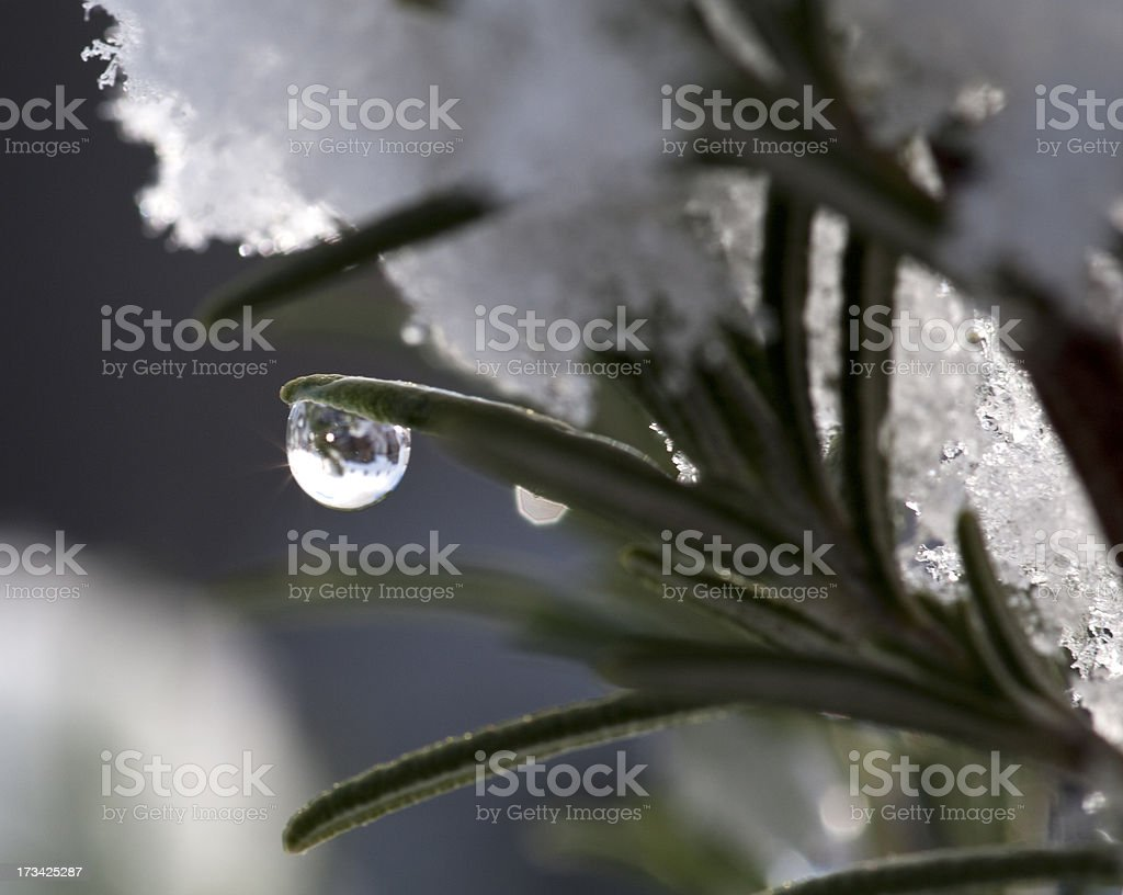 Frozen water droplet on rosemary royalty-free stock photo