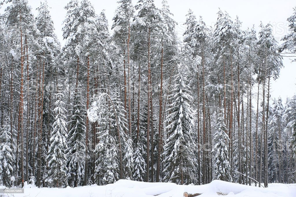 Frozen winter forest royalty-free stock photo