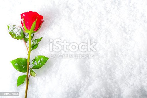 Frozen winter red rose covered in snow with copyspace - Rose in snow wallpaper ...
