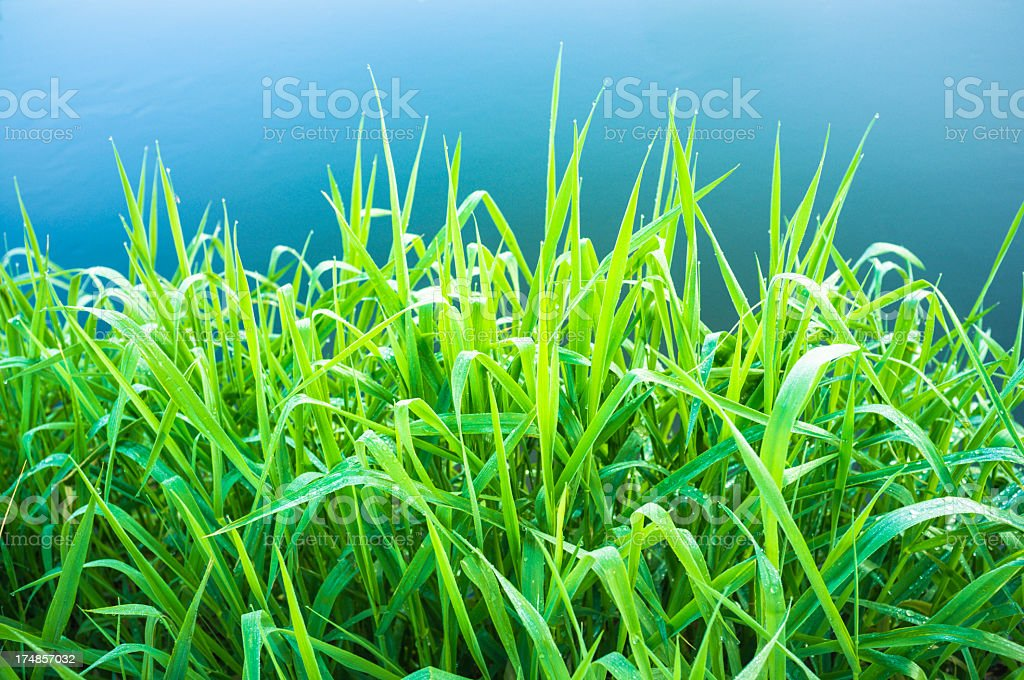 Frsh grass close-up royalty-free stock photo