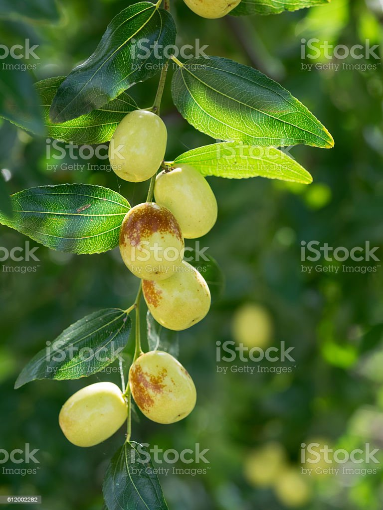 Fruit and leaf of the jujube – Foto