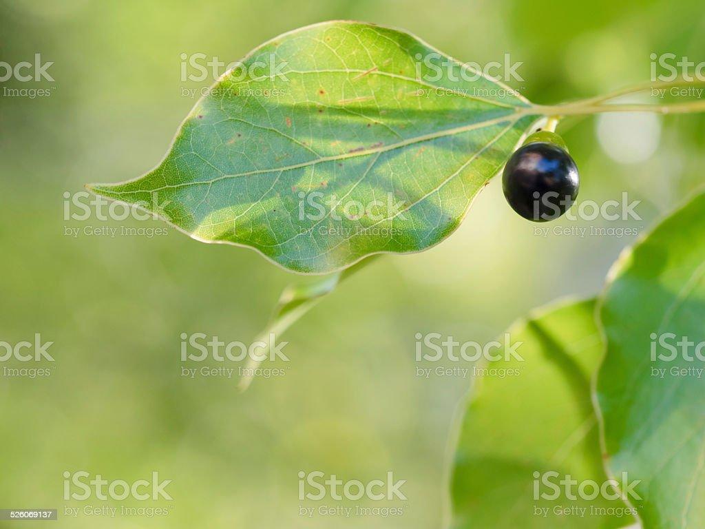 Früchte und Blätter Kusu in den frühen winter – Foto
