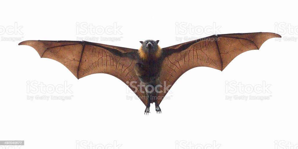 Fruit Bat Carrying its Baby stock photo