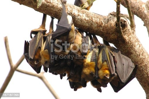 Fruit bats sleeping during the day