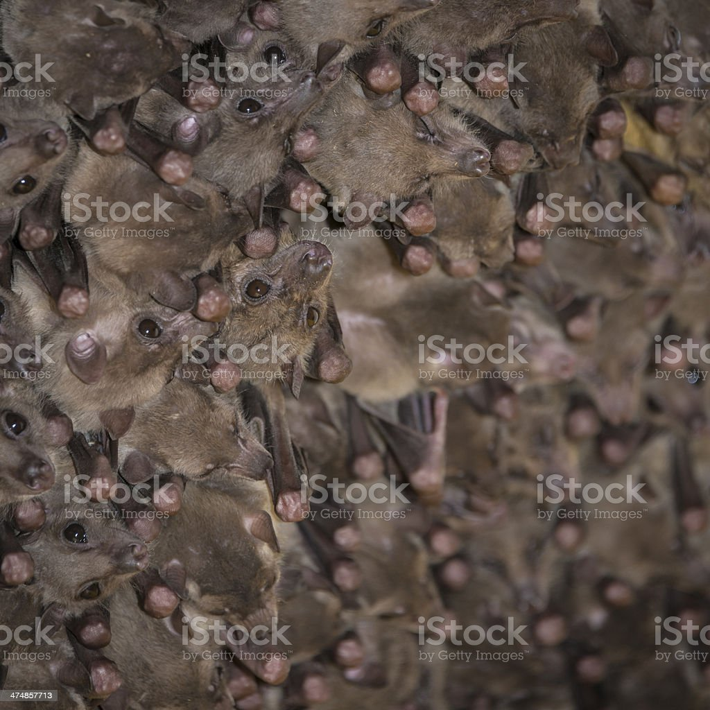 Fruit bat colony stock photo