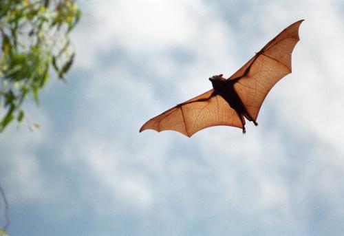 Fruit Bat In Flight Stock Photo - Download Image Now