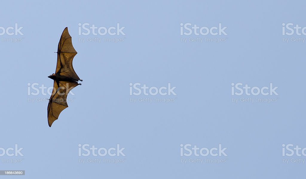 Fruit Bat in the air royalty-free stock photo