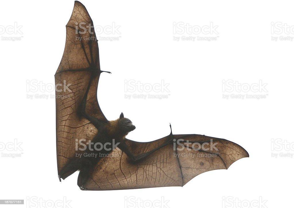 Fruit Bat stock photo