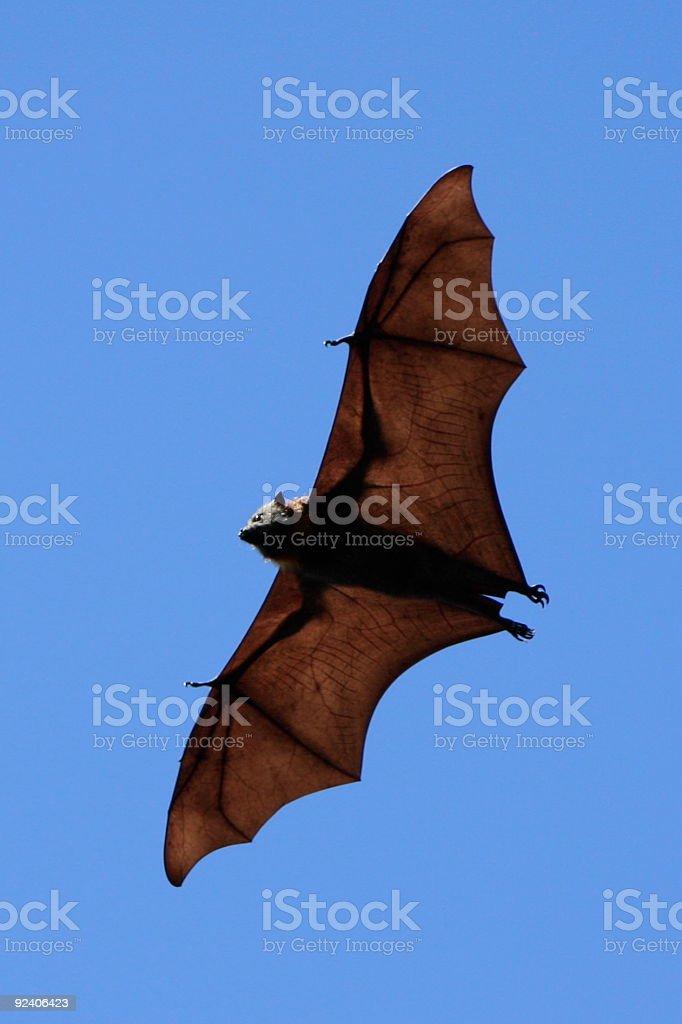 Fruit Bat royalty-free stock photo