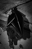 istock A fruit bat resting on the ceiling in black and white picture 1252454510