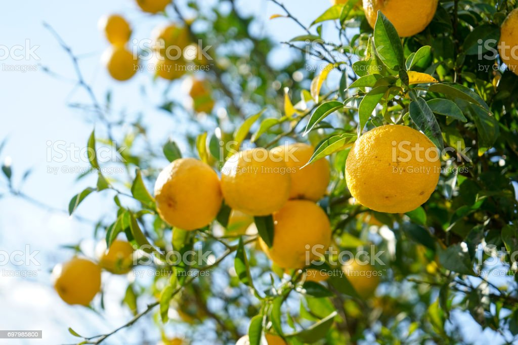 Fruit Bearing Trees Stock Photo Download Image Now Istock