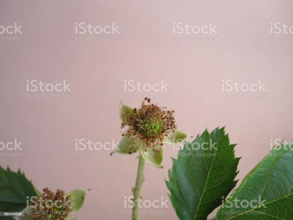 Fruit (Unripe) - Blackberry stock photo