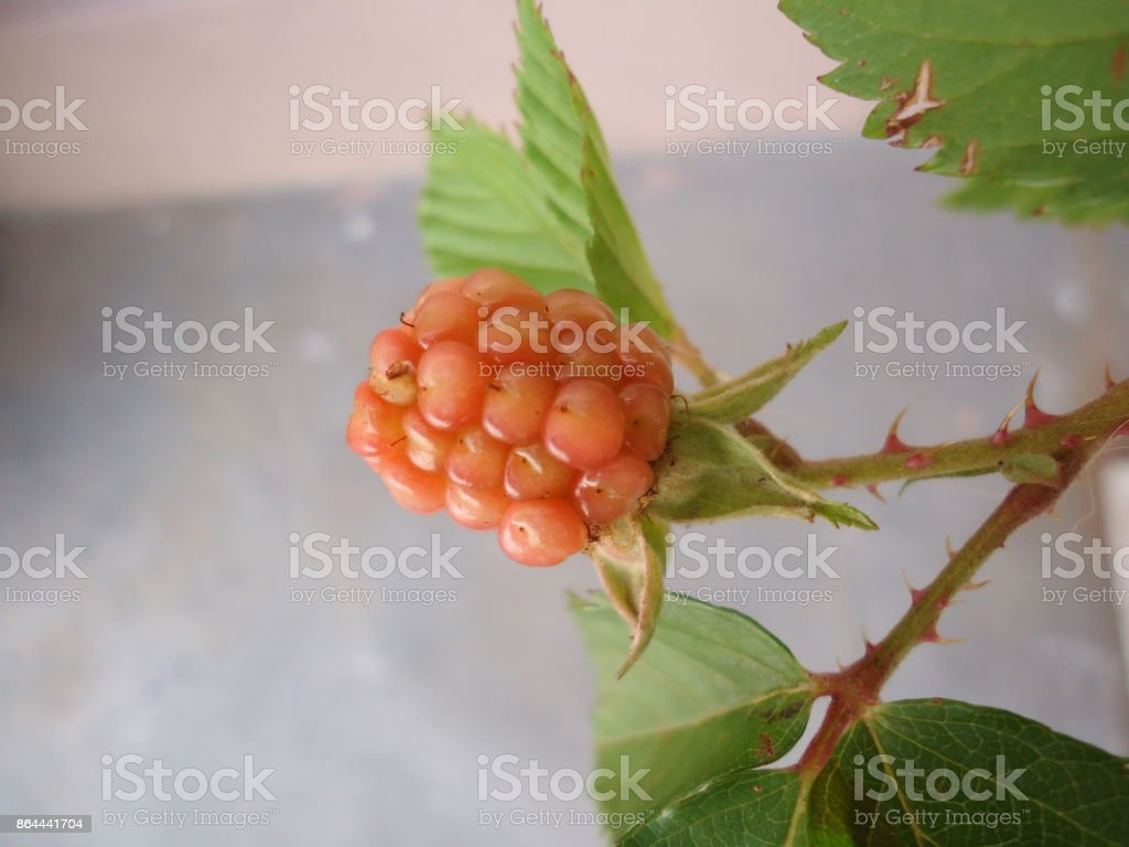 Fruit - Blackberry stock photo