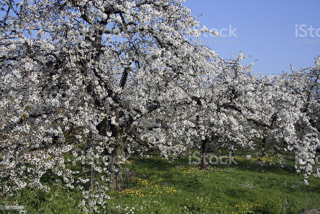 Fruit blossom royalty-free stock photo