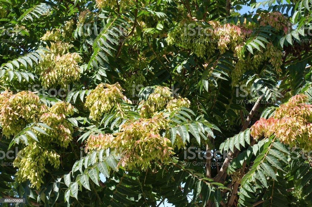 Fruchtstände zwischen Blättern der GГ¶tterbaum altissima – Foto