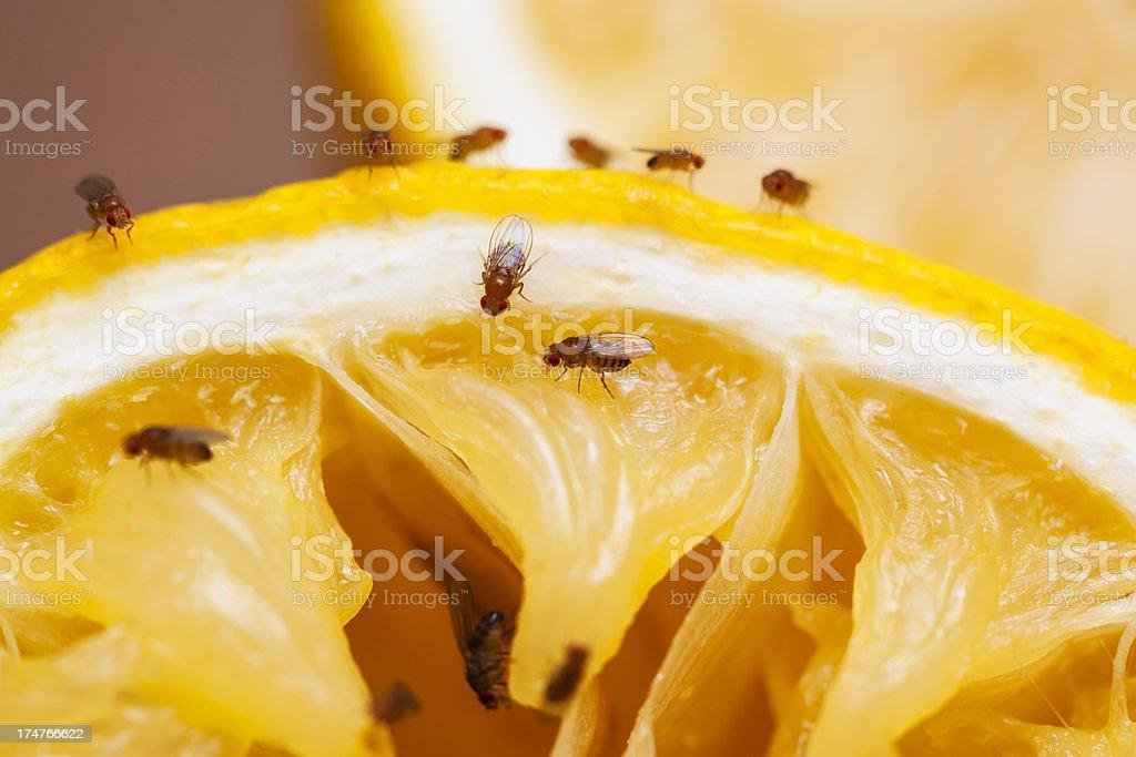 Fruit flies stock photo