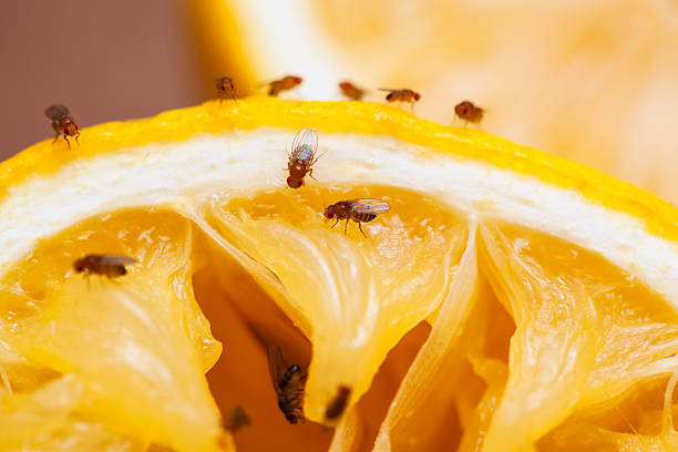 Fruit flies stock photo