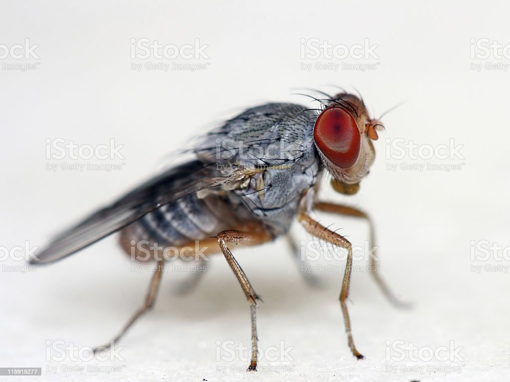Fruit fly 01 royalty-free stock photo