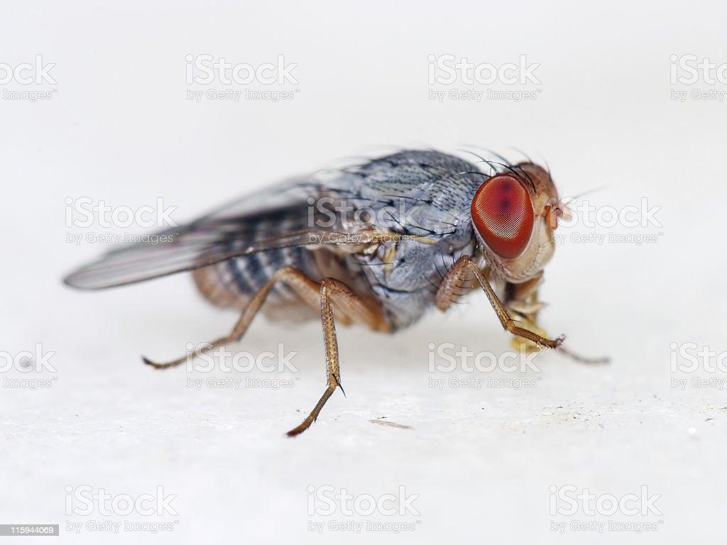 Fruit fly 04 stock photo