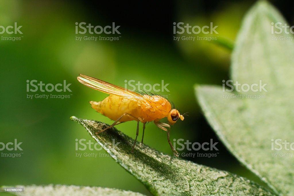 fruit fly Drosophila on the leaf royalty-free stock photo