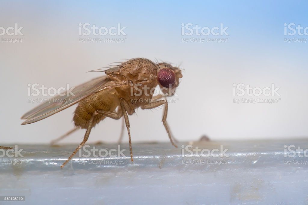 Fruit fly extreme close Little fruit fly insect with micro lens very close. Close To Stock Photo