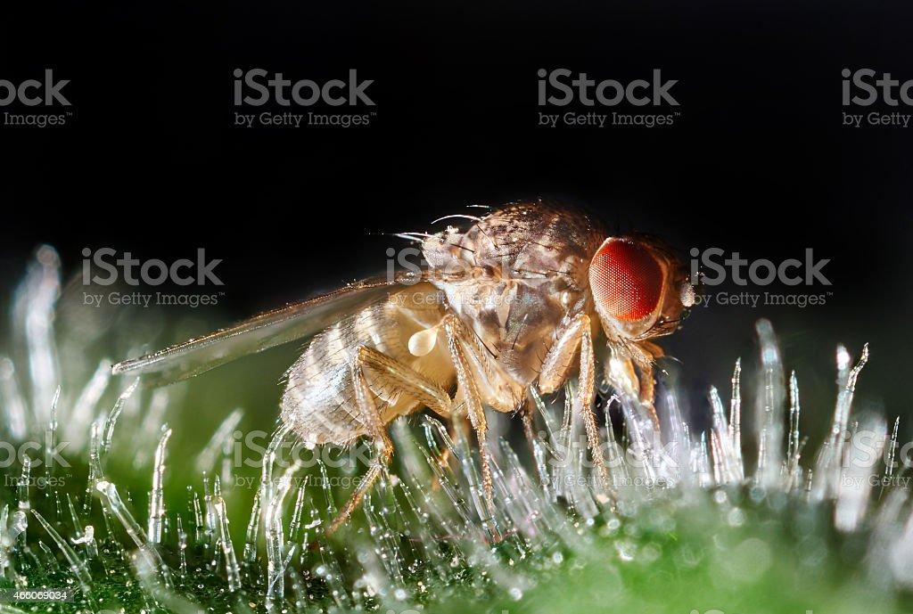 Fruit fly extreme closeup mikroscope stock photo
