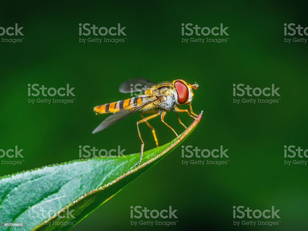 Fruit Fly Insect on Leaf stock photo