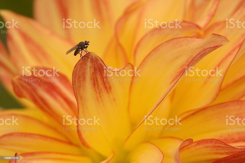 Fruit Fly on Dahlia stock photo