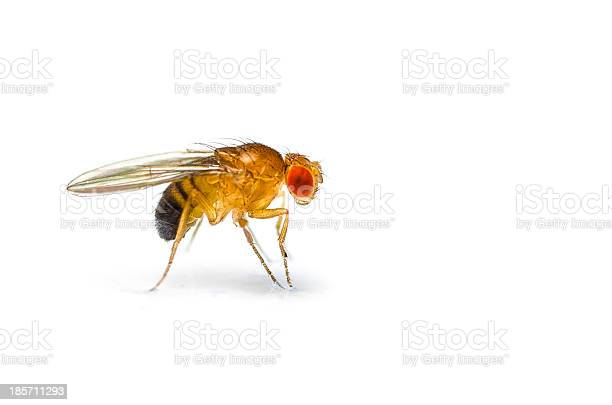 Fruit Fly Stock Photo - Download Image Now