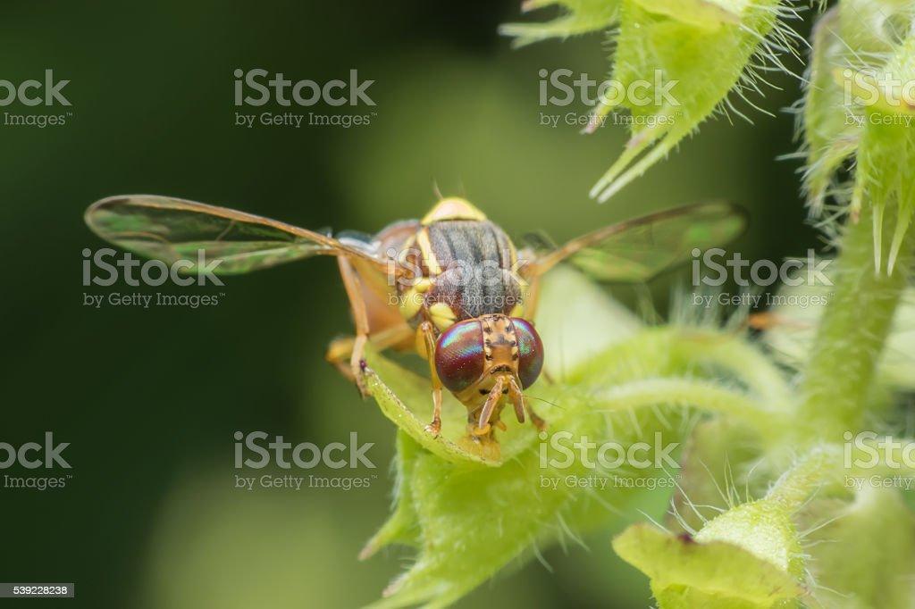 Fruit fly stock photo