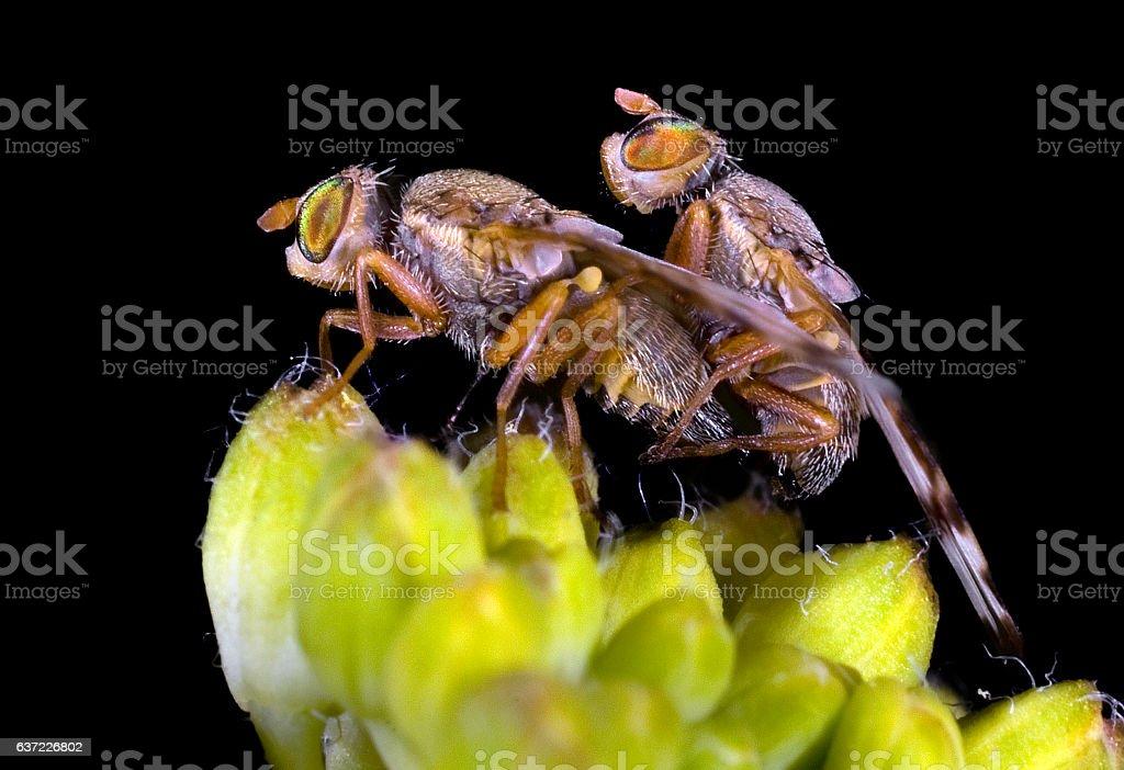 Fruit Fly Tephritidae copulating stock photo