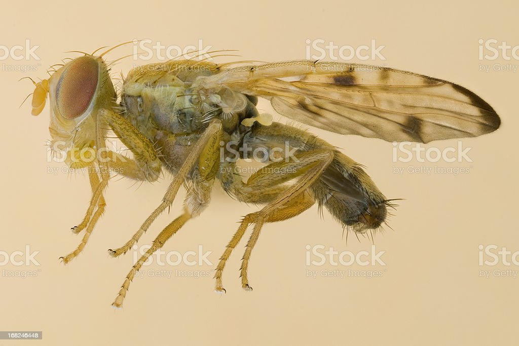 Fruit fly - Xyphosia miliaria stock photo