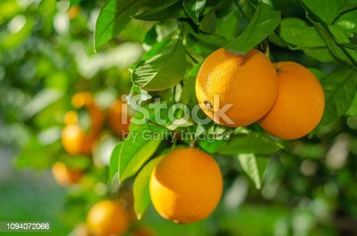 Branch of a Calamondin citrus plant grown in a pot with ripe orange fruits and green leaves. Citrofortunella microcarpa, Citrus madurensis. Indoor citrus tree growing. Close-up with selective focus