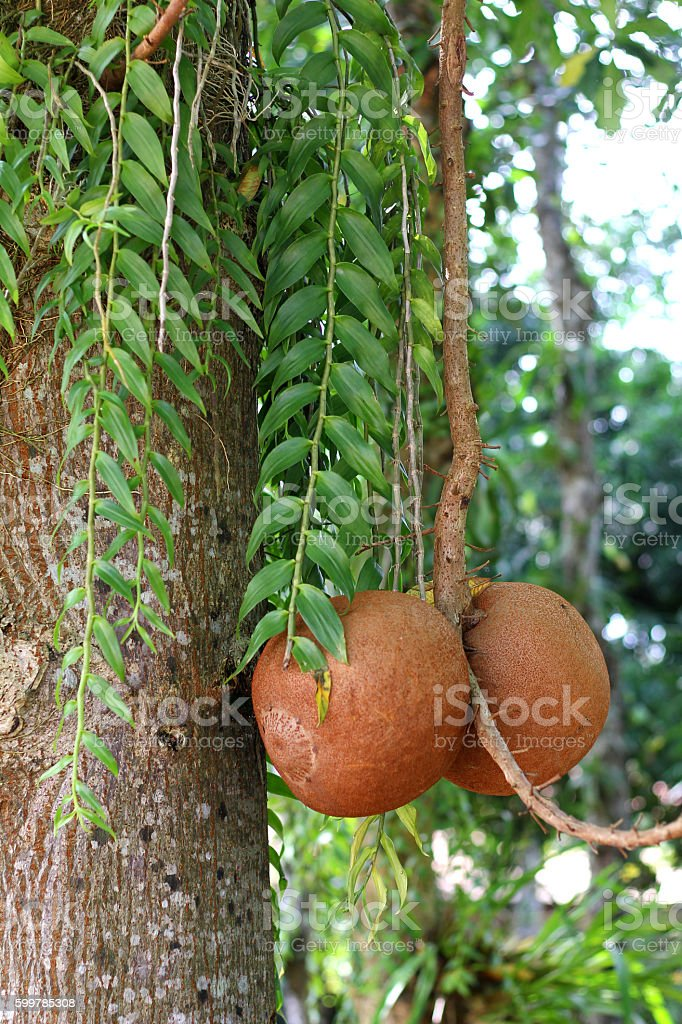 Fruit of Couroupita guianensis stock photo