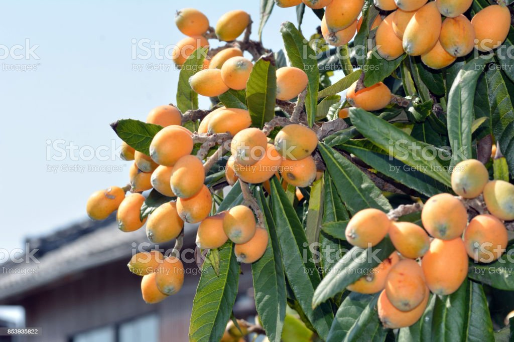 Fruit of loquat-Eriobotrya japonica- stock photo