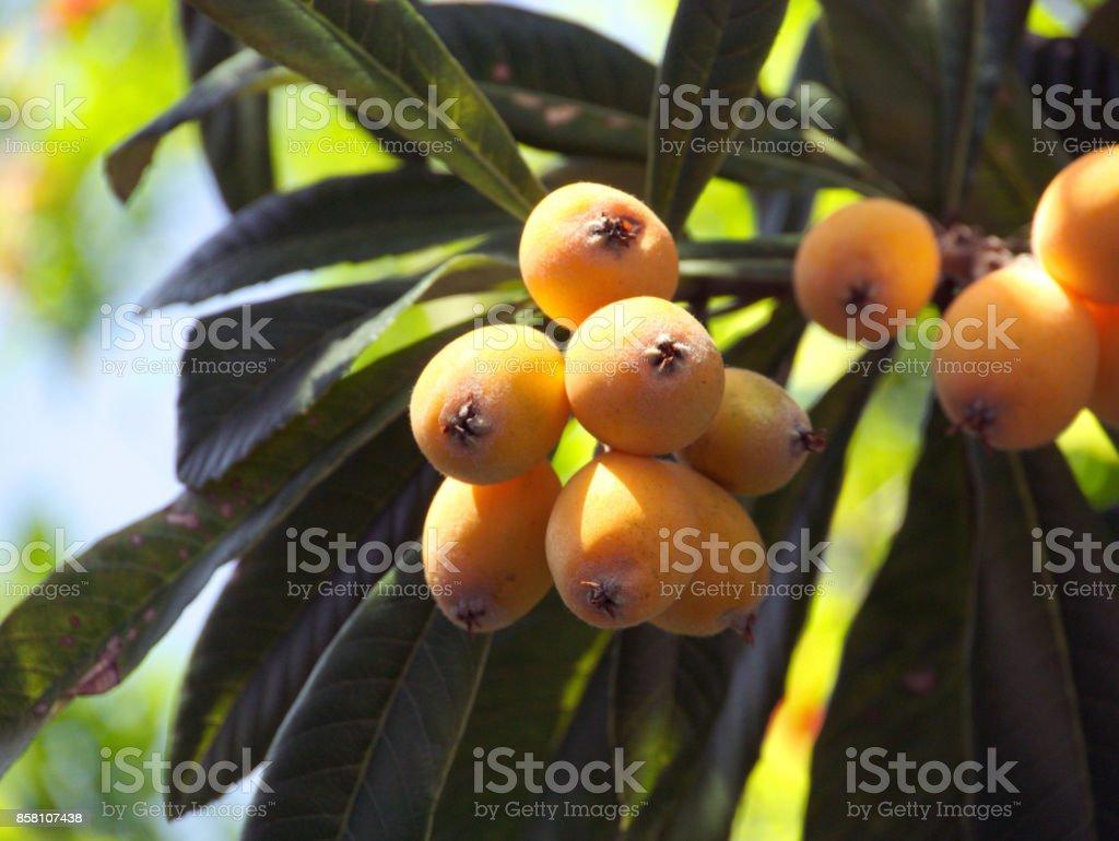 Fruit of loquat-Eriobotrya japonica stock photo