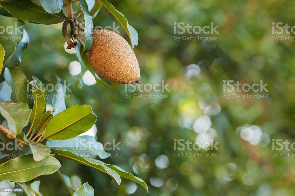 Fruit of Manilkara zapota, sapodilla tree stock photo