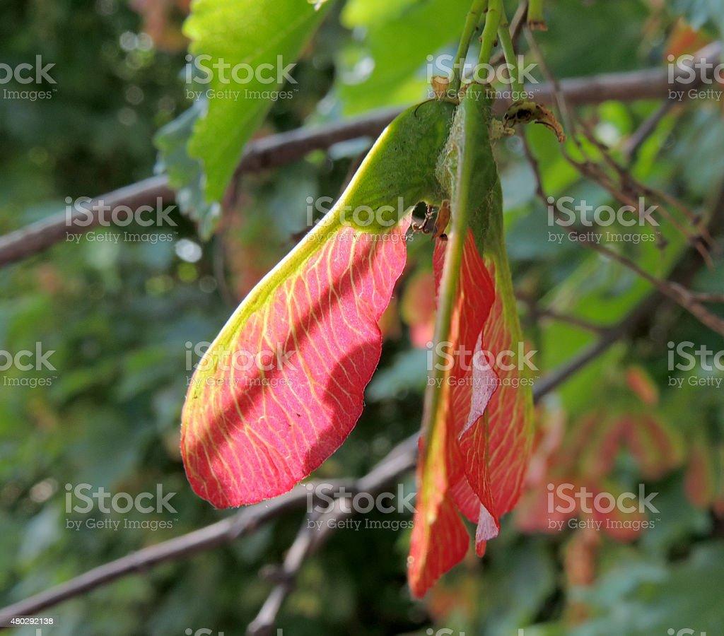Fruit of Tatarian Maple closeup stock photo