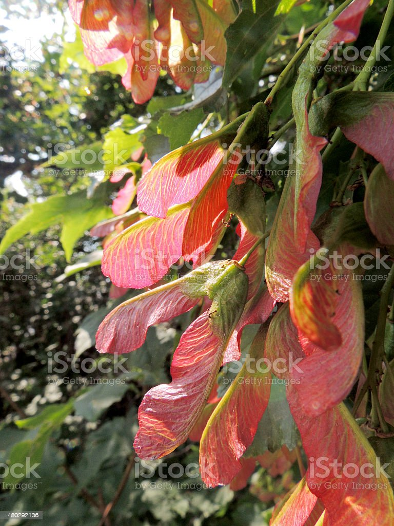 Fruit of Tatarian Maple stock photo