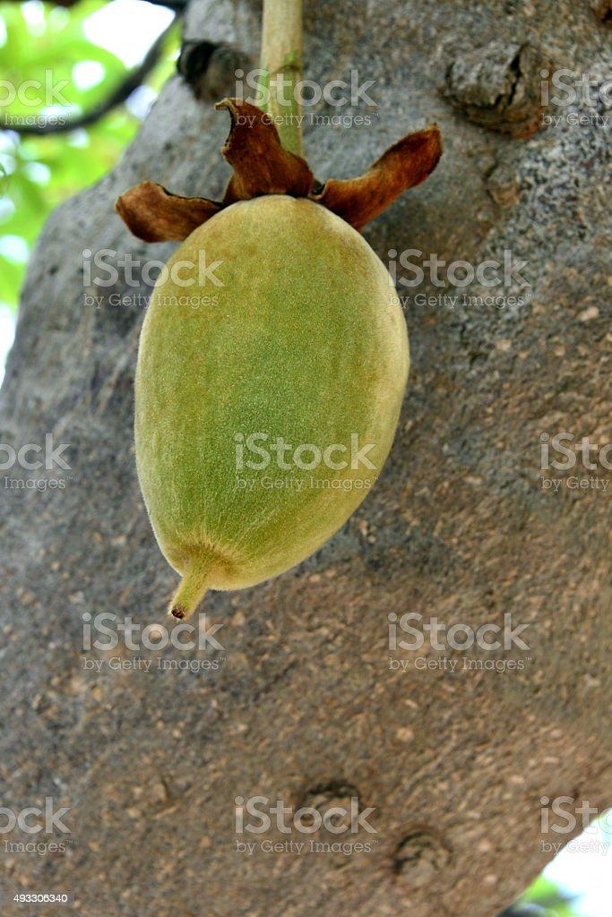 Fruit of the baobab tree stock photo