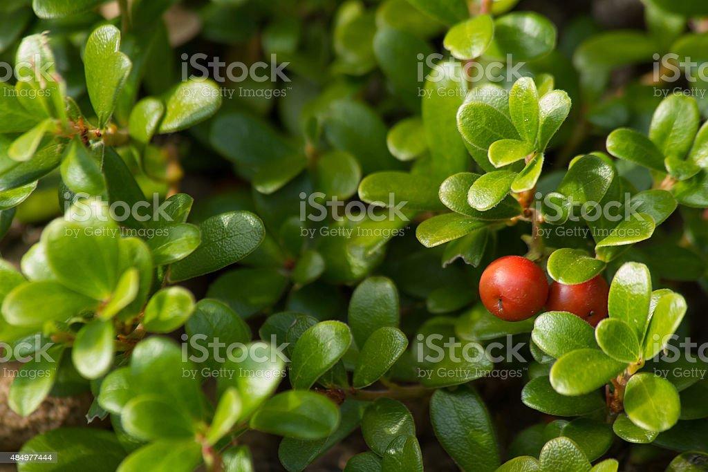 Fruit of the Bearberry Arctostaphylos uva ursi - Manzanita stock photo