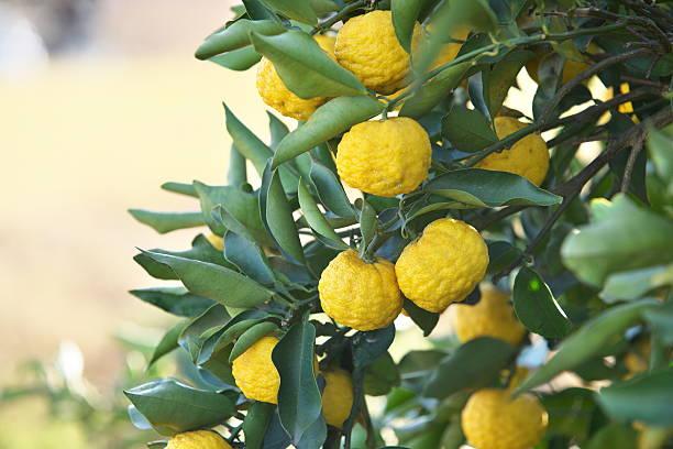 Fruit of the Citrus junos – Foto