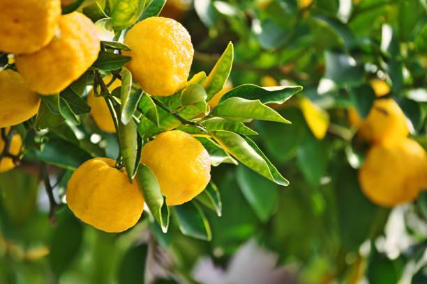 Frucht von Citrus junos – Foto