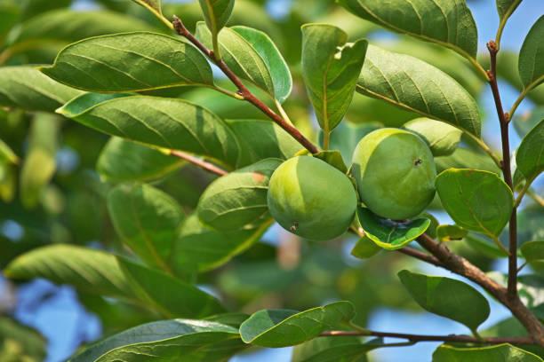 Frucht der Dattelpflaume – Foto